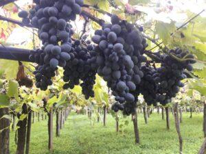 Olivella vibonese, torna la preziosa uva da tavola