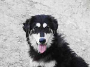 Il cane Pastore della Sila: razza nobile, antica