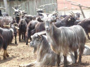 "La capra Rustica di Calabria, altra ""eccellenza"""